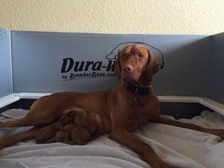 Vizsla Puppy For Sale in LAKE ARROWHEAD, CA, USA