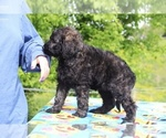 Small #23 Goldendoodle