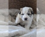 Small #57 Great Pyrenees