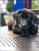 Labrador Retriever Puppy For Sale in GRESHAM, OR, USA