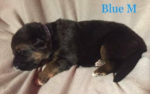Medium Photo #2 German Shepherd Dog Puppy For Sale in COLETA, IL, USA