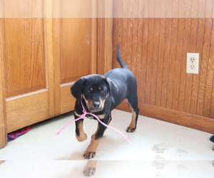 Bluetick Coonhound-Labrador Retriever Mix Puppy for sale in SHILOH, OH, USA