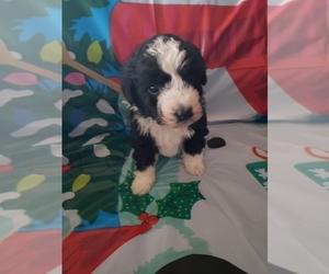 Australian Shepherd-Poodle (Miniature) Mix Puppy for sale in HAZLETON, IA, USA