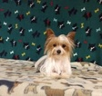 Yorkshire Terrier Puppy For Sale in WINSTON SALEM, NC, USA