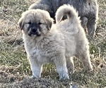 Puppy 1 Anatolian Shepherd