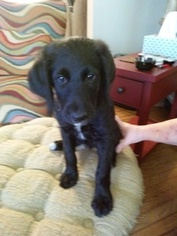 Labradoodle Puppy For Sale in NEWTON, NC