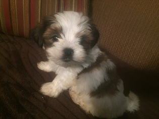 Shorkie Tzu Puppy For Sale in JOHNSTON CITY, IL