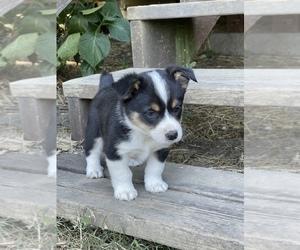 Aussie-Corgi Puppy for Sale in MYRTLE CREEK, Oregon USA