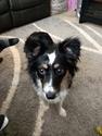 Miniature Australian Shepherd Puppy For Sale in AVON, IN, USA