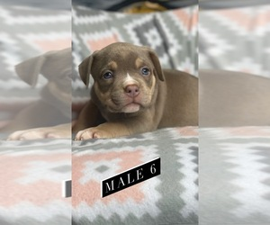 American Bully Puppy for Sale in ELLENWOOD, Georgia USA