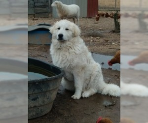 Great Pyrenees Puppy for sale in MOODY, MO, USA