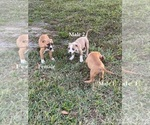 Small #5 American Pit Bull Terrier