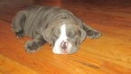 Bulldog Puppy For Sale in SAN DIEGO, CA,