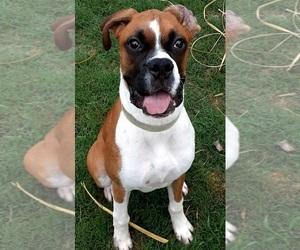 Boxer Puppy for Sale in ZEBULON, Georgia USA