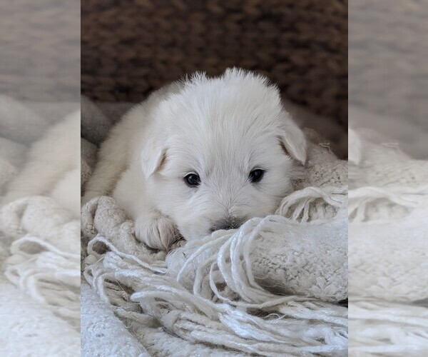 Medium Photo #63 Great Pyrenees Puppy For Sale in FALCON, CO, USA