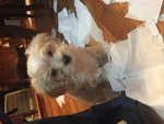Maltipoo Puppy For Sale in GWYNN OAK, MD