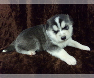 Wolf Hybrid Puppy for Sale in SAINT IGNATIUS, Montana USA