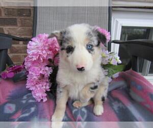 Border Collie Puppy for sale in DODGEVILLE, MI, USA