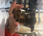 Small #21 Yorkshire Terrier