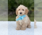 Small #4 Goldendoodle
