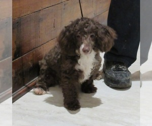 Poodle (Miniature) Dog for Adoption in LE MARS, Iowa USA