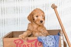 Goldendoodle Puppy For Sale in PLYMOUTH, OH, USA