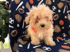 Poochon Puppy For Sale in PEACH BOTTOM, PA, USA