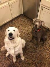 Goldador Puppies