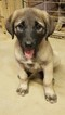 Anatolian Shepherd Puppy For Sale in SANDERSVILLE, GA, USA