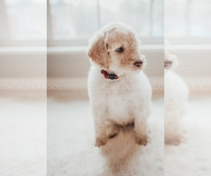 Bernedoodle Puppy for sale in WILMER, AL, USA