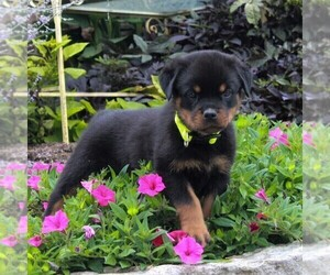 Rottweiler Puppy for sale in GAP, PA, USA