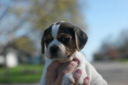 Puggle Puppy For Sale in SHAKOPEE, MN