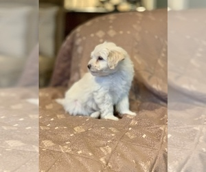 Border Terrier-Poodle (Miniature) Mix Puppy for Sale in CHARTER OAK, California USA