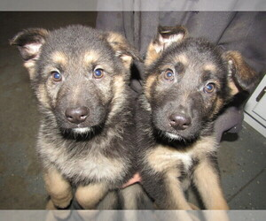 German Shepherd Dog Puppy for sale in CHICAGO, IL, USA