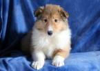 Collie Puppy For Sale in MOUNT JOY, PA, USA