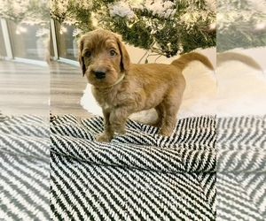 Goldendoodle Puppy for Sale in BARSTOW, California USA