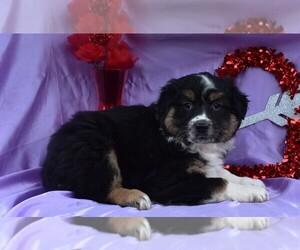 Australian Shepherd-Unknown Mix Puppy for sale in MILLERSBURG, OH, USA