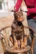 Doberman Pinscher Puppy For Sale in Iasi, Iasi, Romainia