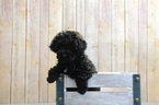 Minnie Female Poodle