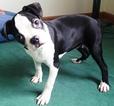 Boston Terrier Puppy For Sale in CRANSTON, RI