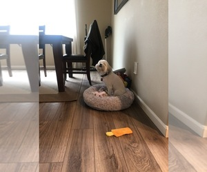 Lhasa Apso Puppy for sale in LACEY, WA, USA