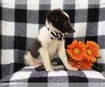 Small #7 Shetland Sheepdog