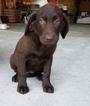 Labrador Retriever Puppy For Sale in ARTHUR, IL, USA