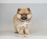 Puppy 10 Pomeranian