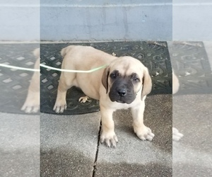 Cane Corso Puppy for Sale in SACRAMENTO, California USA