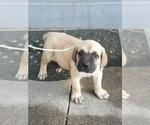 Cane Corso Puppy For Sale in SACRAMENTO, CA, USA