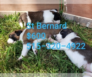 Saint Bernard Puppy for sale in LAKOTA, IA, USA