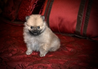 Pomeranian Puppy For Sale in GRAYSON, LA