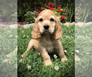 English Cocker Spaniel Puppy for sale in GREENWOOD, WI, USA