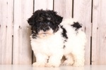 Havachon Puppy For Sale in MOUNT VERNON, OH, USA